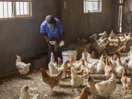 éleveur de poules