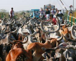 Lors de votre voyage en Inde, respectez les vaches sacrées