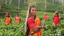 La culture du thé en Inde
