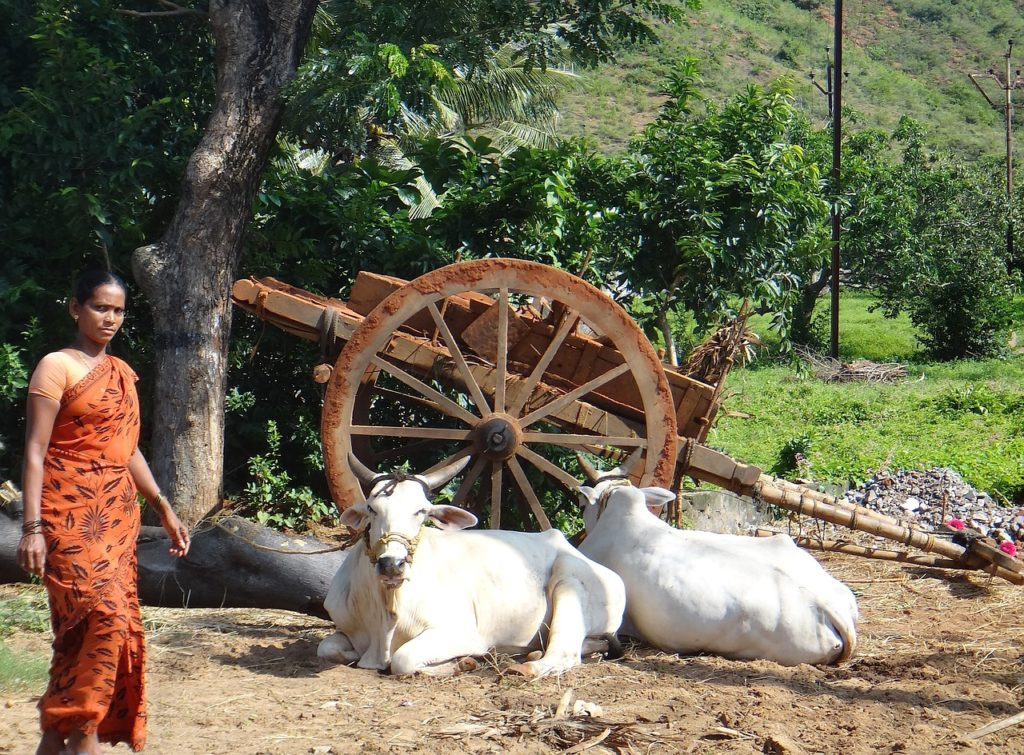 Voyage en Inde : abattage des vaches interdit